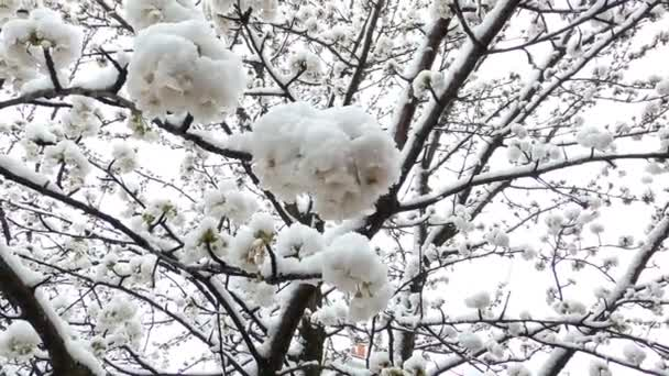 Early spring cherry blossoms and late snow. Shot from below with snowflakes towards the camera.
