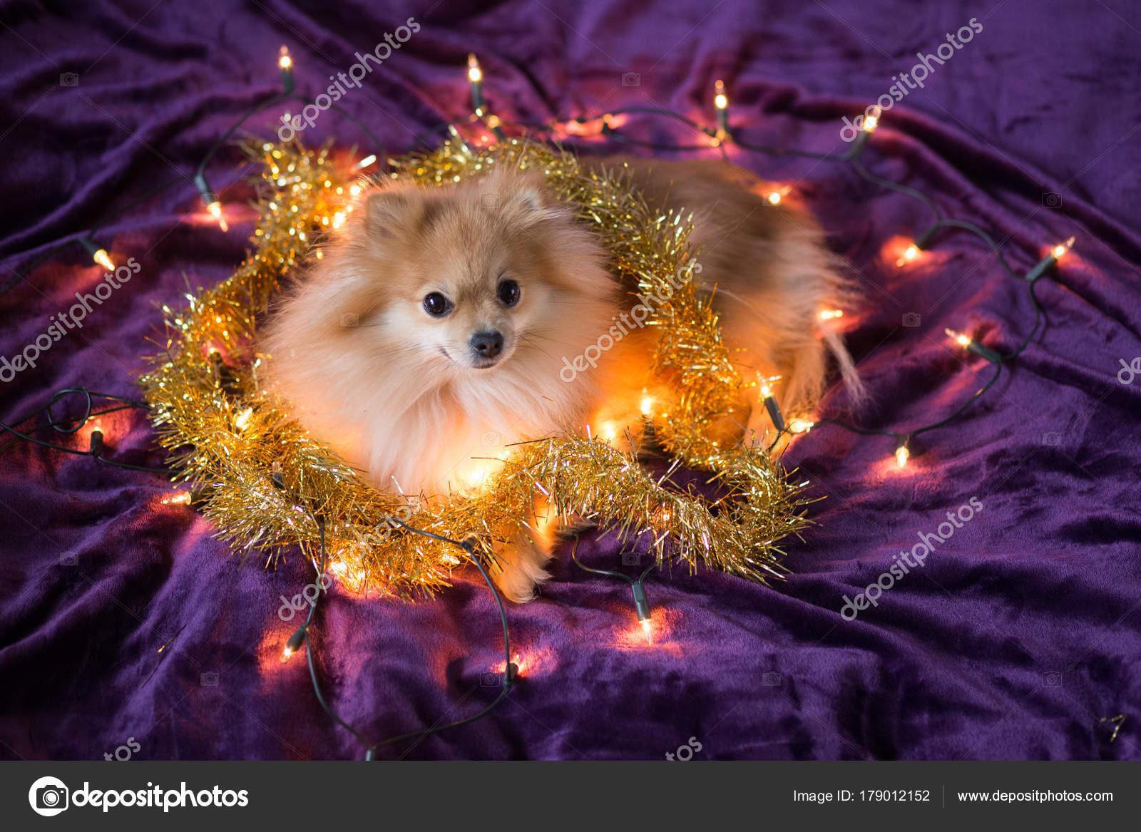 Schattig Hondje Duitse Spitz Versierd Met Kerstverlichting Paarse