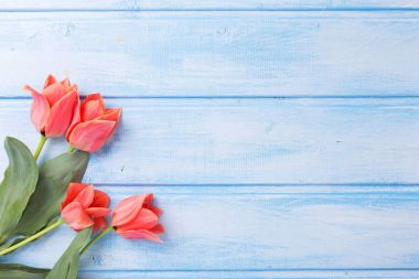 Coral tulips  on blue  painted wooden background.