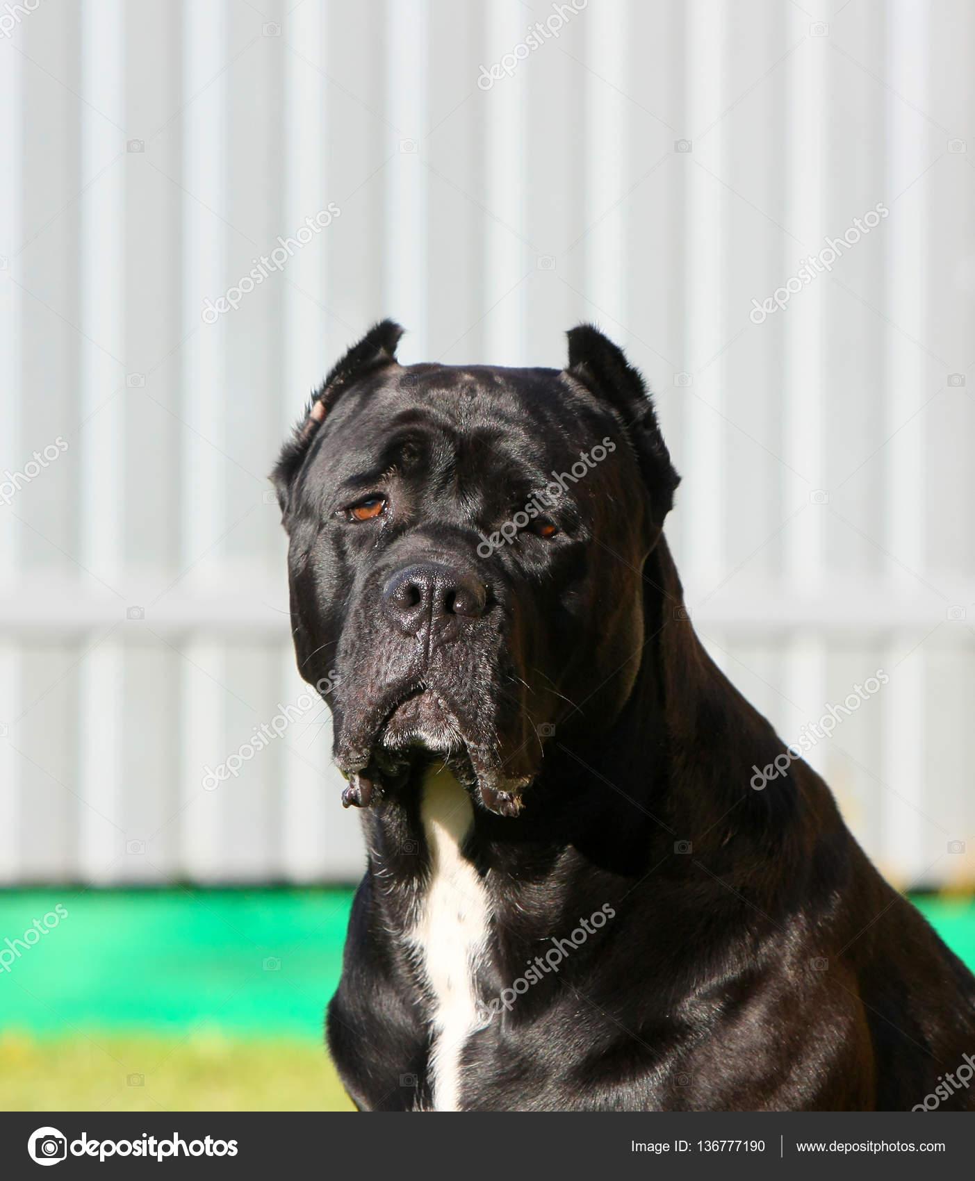 Italienische Cane Corso Porträt Eines Schwarzen Hundes Hautnah