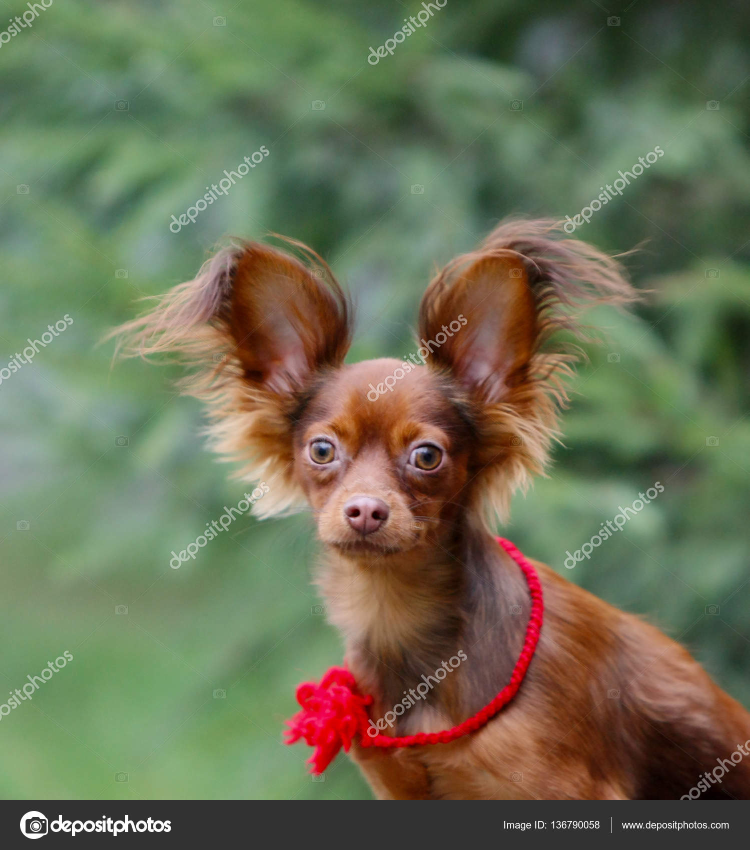 Up Portrait Of A Red Dog Puppy With Raised Ears And Long
