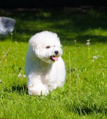 An active white puppy is walking along a green glade on a sunny day.