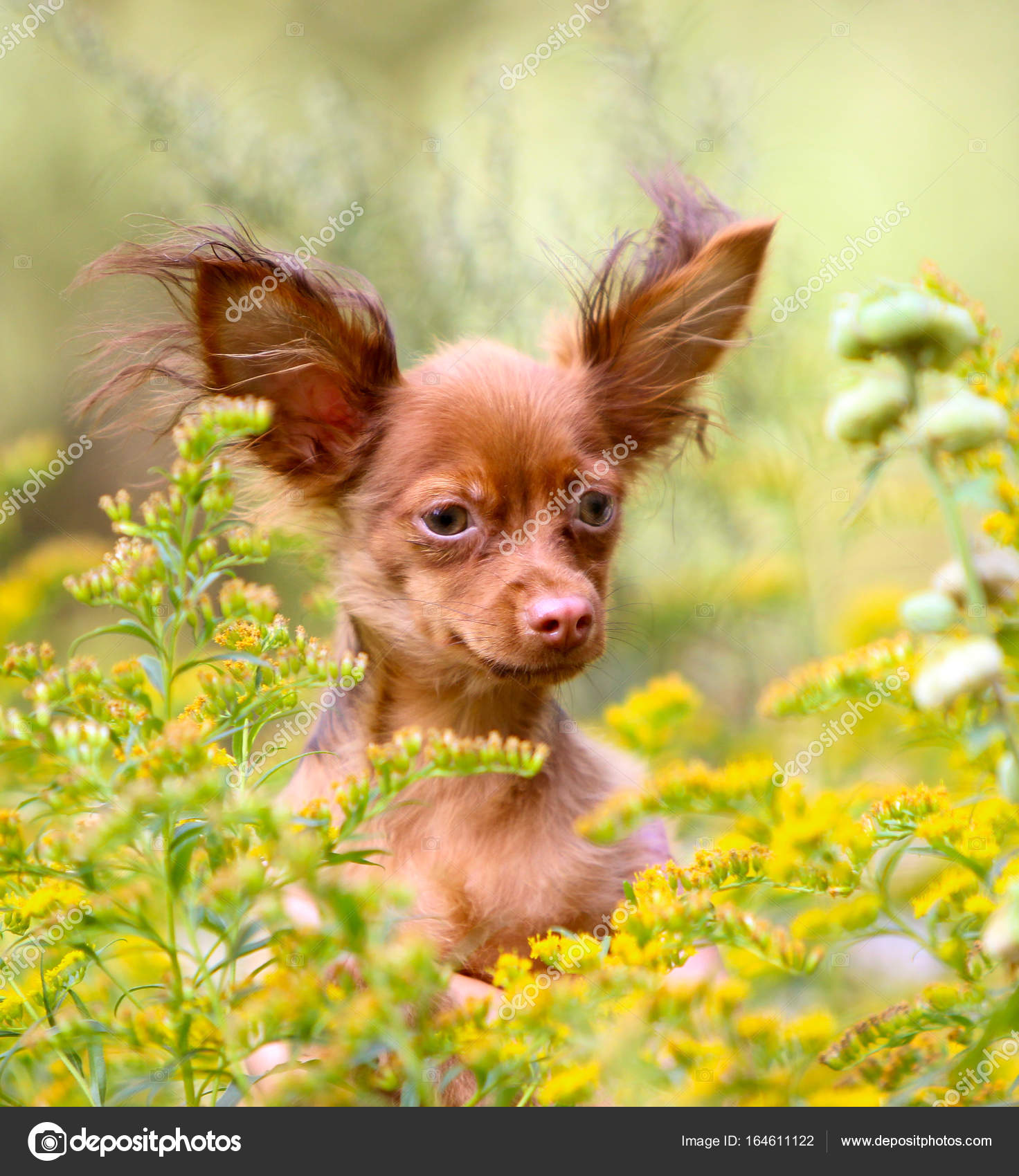 Portrait Of A Beautiful Red Haired Puppy With Raised Ears A