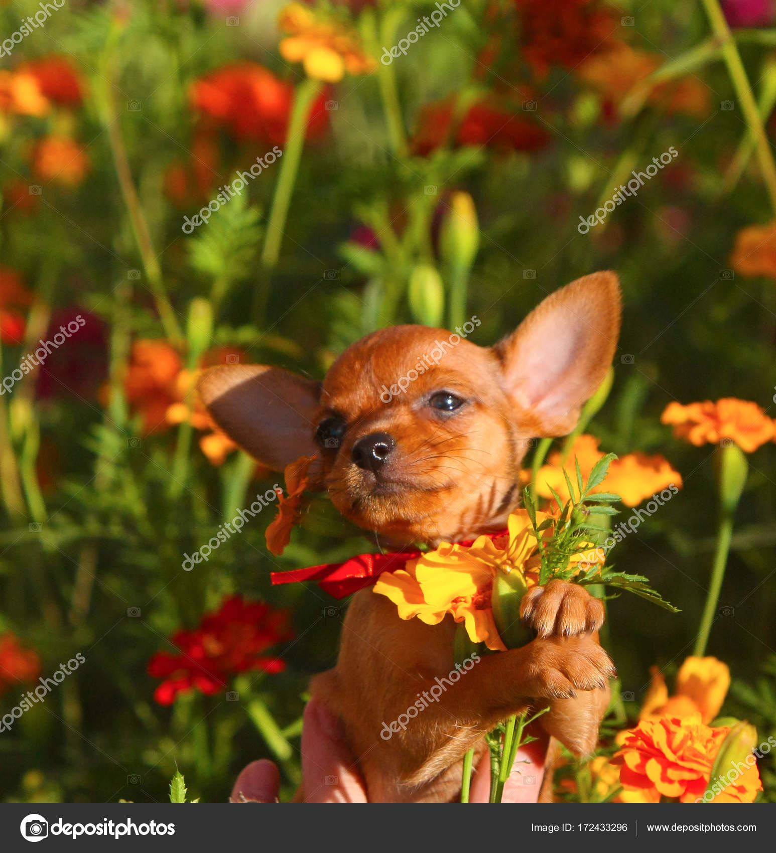 Redhead miniature puppy holds a bouquet of flowers in his paws. A ...