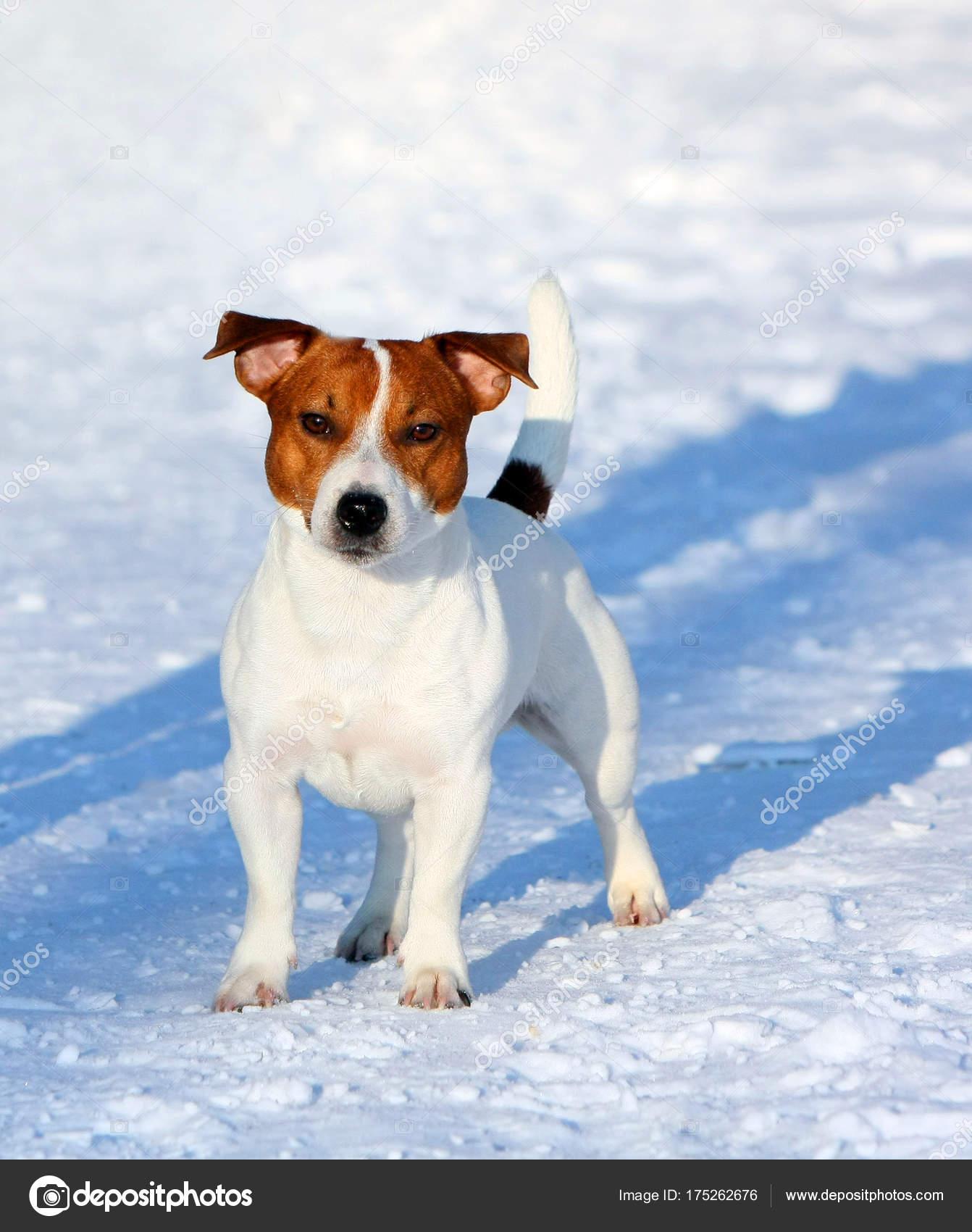 Jack Russell Terrier Che Propone All Esterno Ritratto Cane Bianco