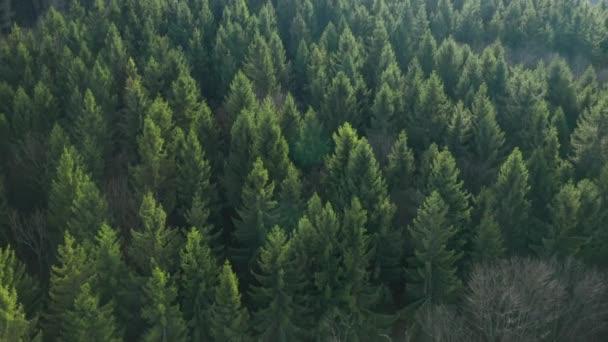 Letecký pohled na vrcholek stromů v borovicovém lese při západu slunce