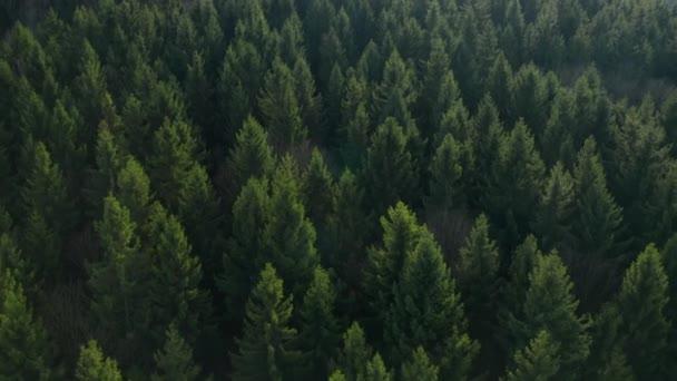 Fliegen Sie über die bunten Bäume in einem Wald. Die Wipfel der Tannen.