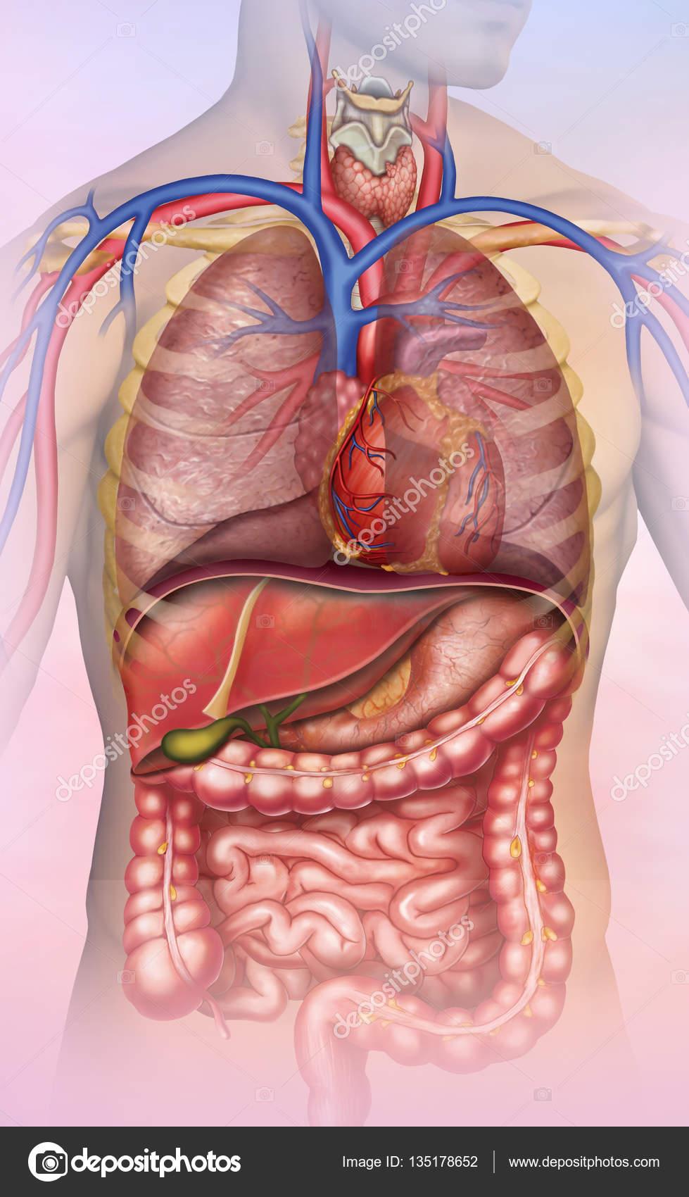 Anatomía del tronco humano — Foto de stock © Alexilus #135178652