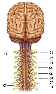 Vertebrae and nerves cervical plexus
