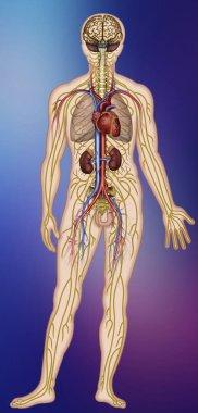 """Картина, постер, плакат, фотообои """"иллюстрация нервной и кровеносной систем человеческого организма """", артикул 194045882"""
