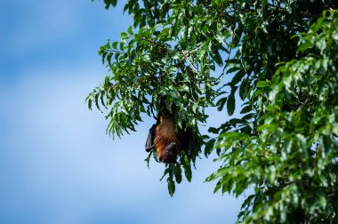 indian flying fox or greater indian fruit bat close up image hanging from tree with eyes open at ranthambore national park or tiger reserve, rajasthan, india - Pteropus giganteus