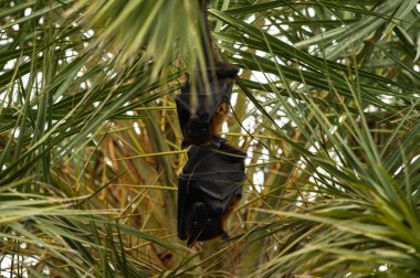 indian flying fox or greater indian fruit bat hanging from tree with eyes open at keoladeo national park or bird sanctuary, bharatpur, rajasthan, india - Pteropus giganteus