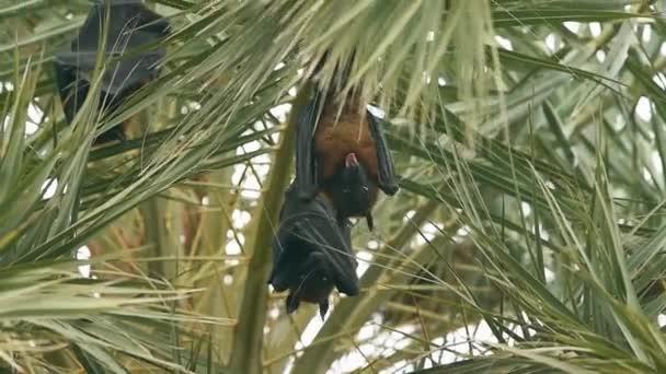 Indischer Flughund oder größere indische Fruchtfledermaus hängendes Maul offen auf Baum im Keoladeo Nationalpark oder Vogelschutzgebiet, Bharatpur, Rajasthan, Indien - Pteropus giganteus