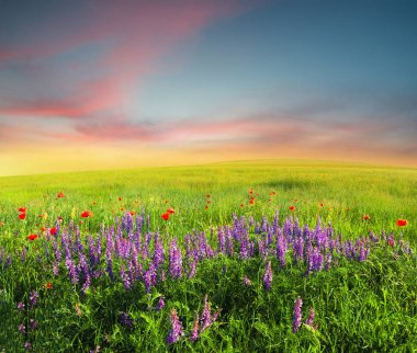 Field with flowers in mountain valley