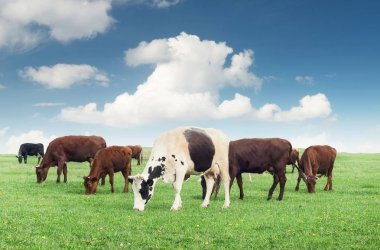 Cows on the farm field