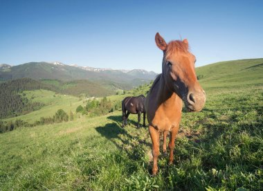 horses couple on mountain field