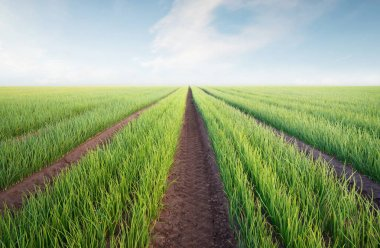 Rows on the field. Agricultural landscape in the summer tim