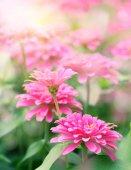 zblízka růžový květ