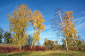 Autumn Landscape - four birch and bushes.