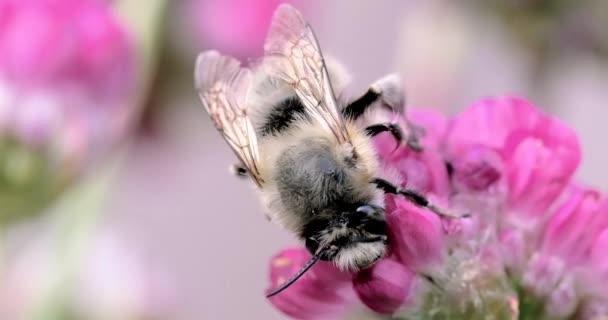 Pan Bumble bee na květní stopky