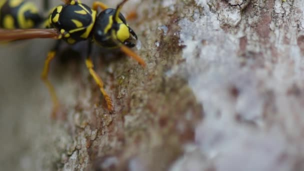 wasp eats transparent honey, soft focus, close-up. A beautiful wasp on a stone collects food, moves a mustache