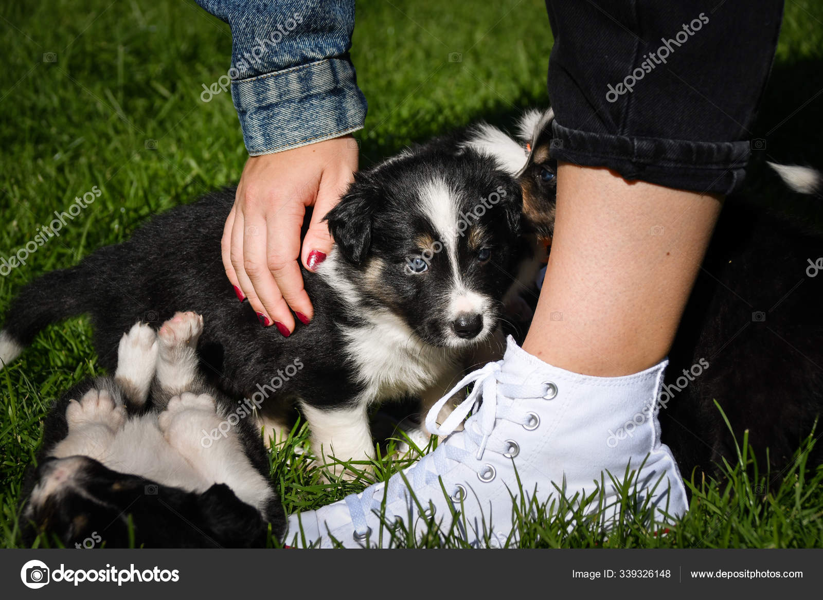 Six Week Old Border Collie Puppy Tricolor Teddybear Look Ambitious Stock Photo C Dodafoto 339326148