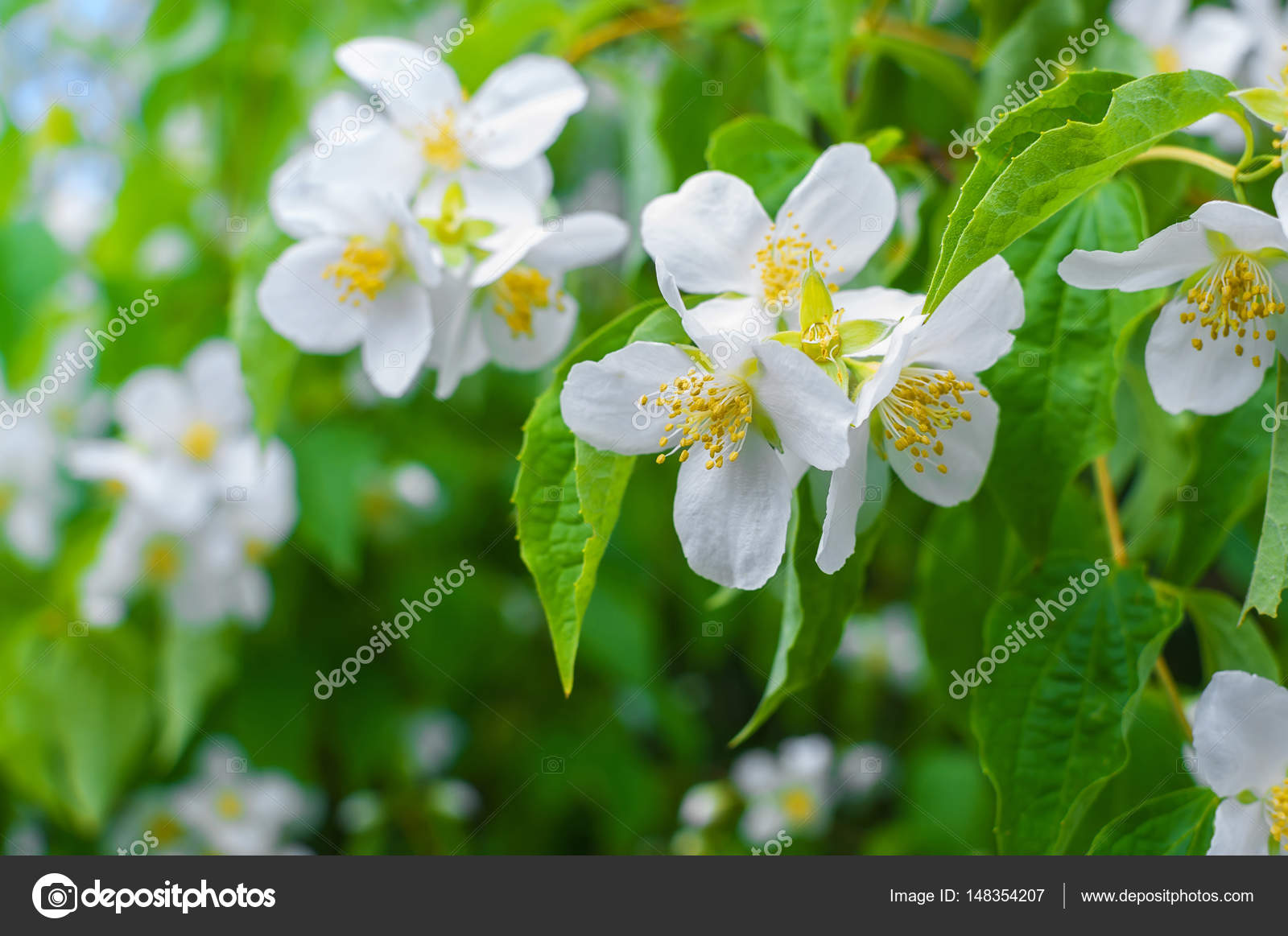Close Up Photo Of Jasmine Flowers Blooming In Garden At Spring