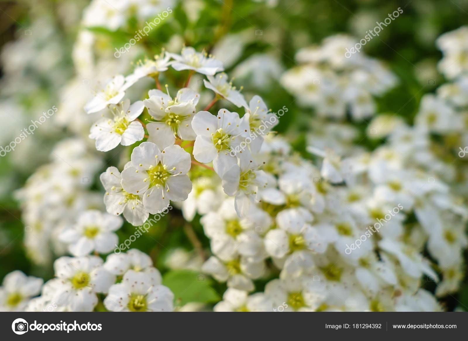 Blooming Bush Of Spirea White Flowers In Sunset Light Stock Photo