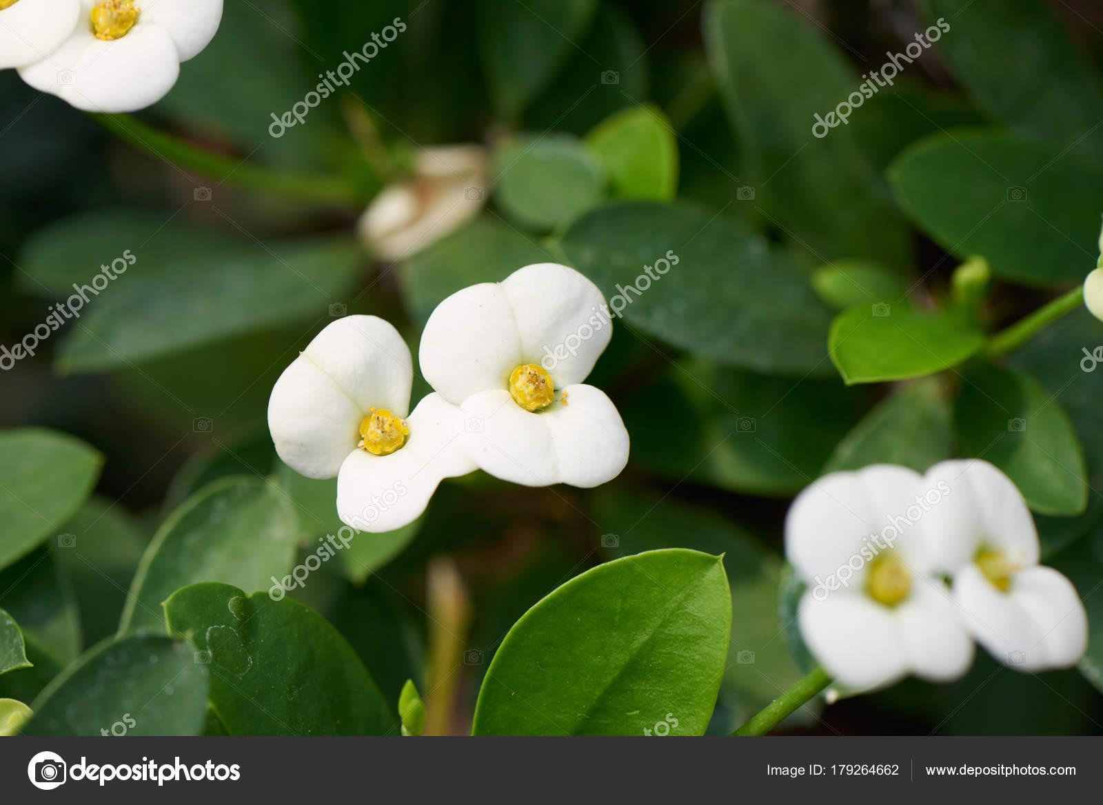 White Flower Of Euphorbia Milii Stock Photo Jipen 179264662