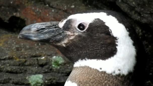 Gli uccelli non volatori e pinguini africani