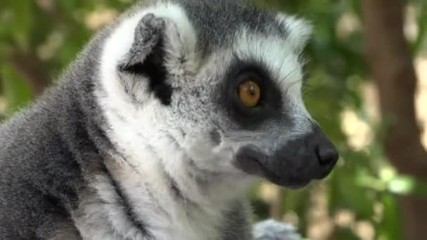 Lemuri un adorabile animale carino