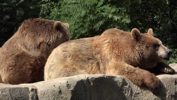 Two Brown Bears Outdoors