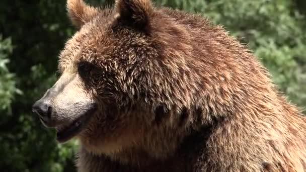 Barna medve állatok Wildlife