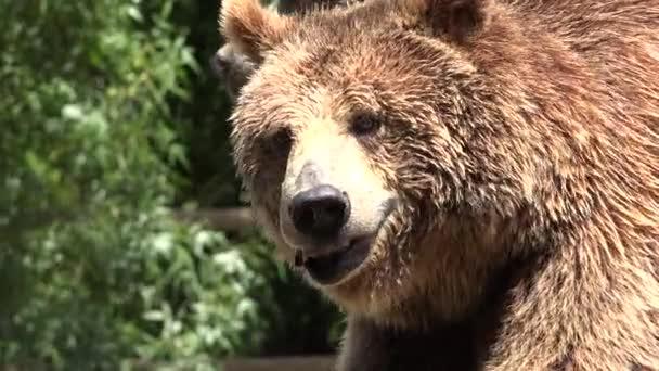 Barna medve vadon élő állatok