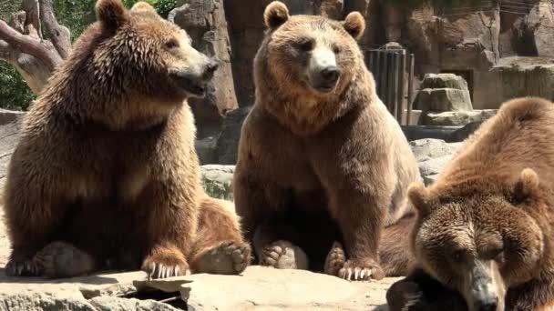 Barna Medvék családja