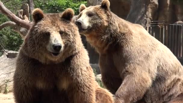 Two Brown Bears Wild Animals