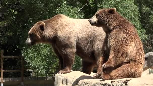 Brown Bears Eating Begging For Food