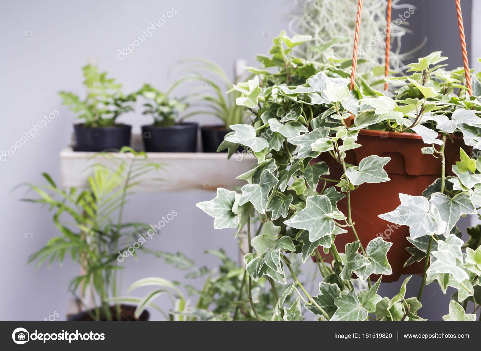 Boom In Pot Op Balkon.Huis En Tuin Concept Van Engels Klimop Plant In Pot Op Het Balkon