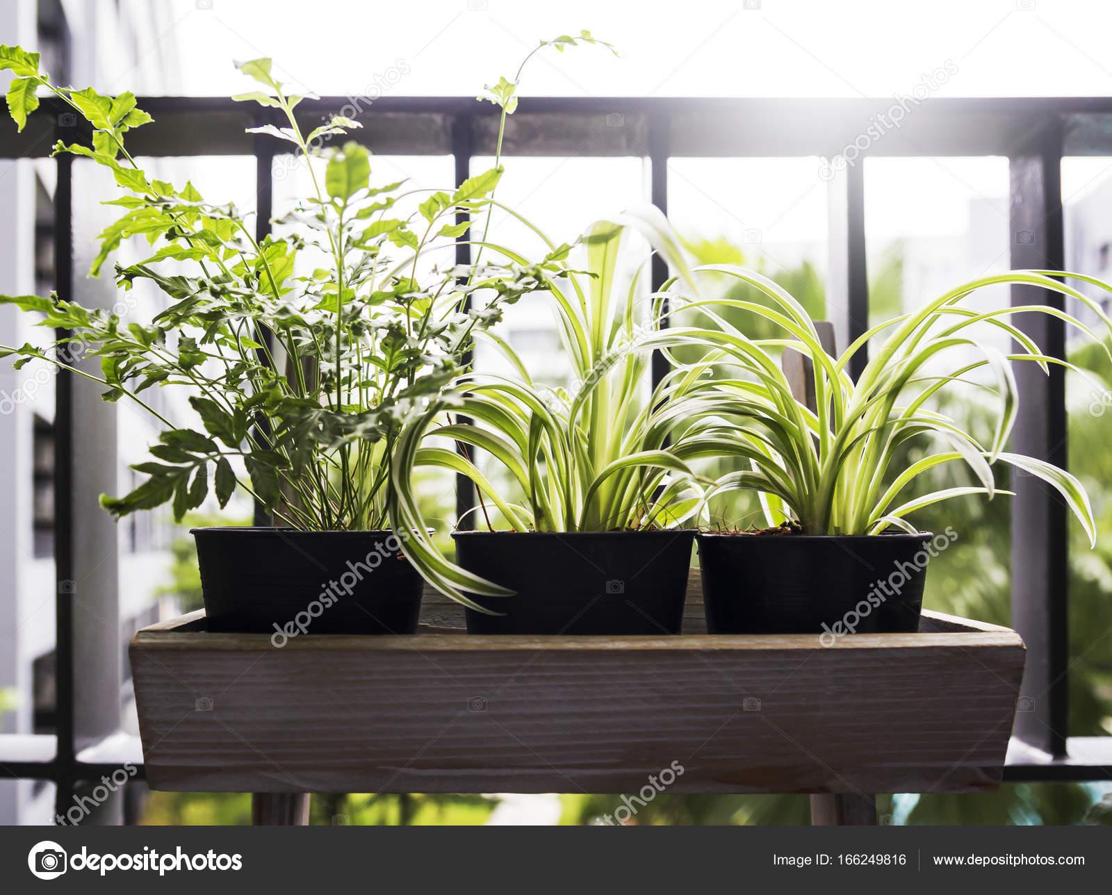Boom In Pot Op Balkon.Huis En Tuin Concept Van Spin Plant En Varens In Pot Op Het Balkon