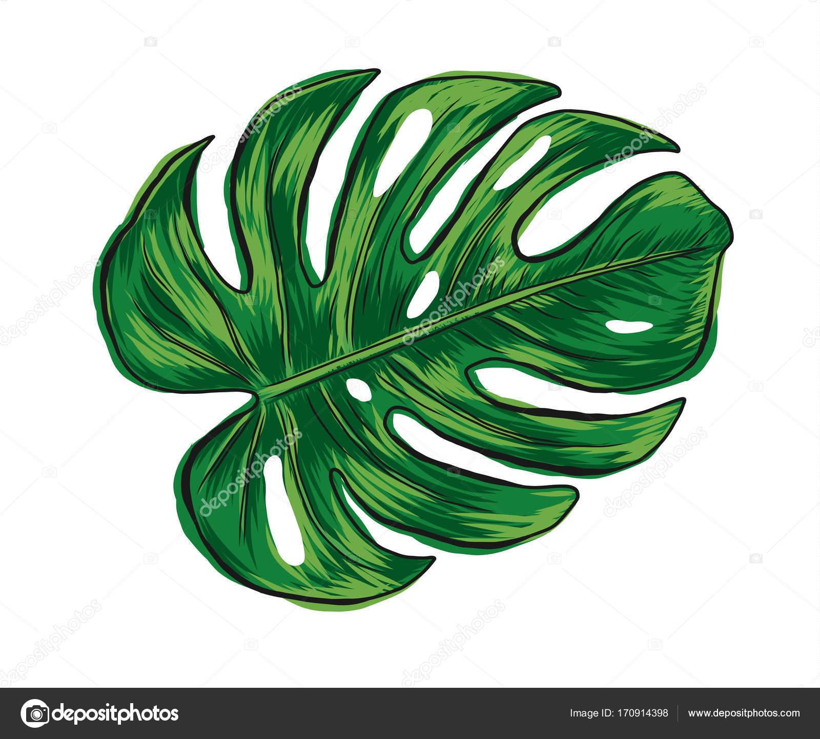 Mão Desenhada Monstera Deliciosa Folha Tropical Isolada No