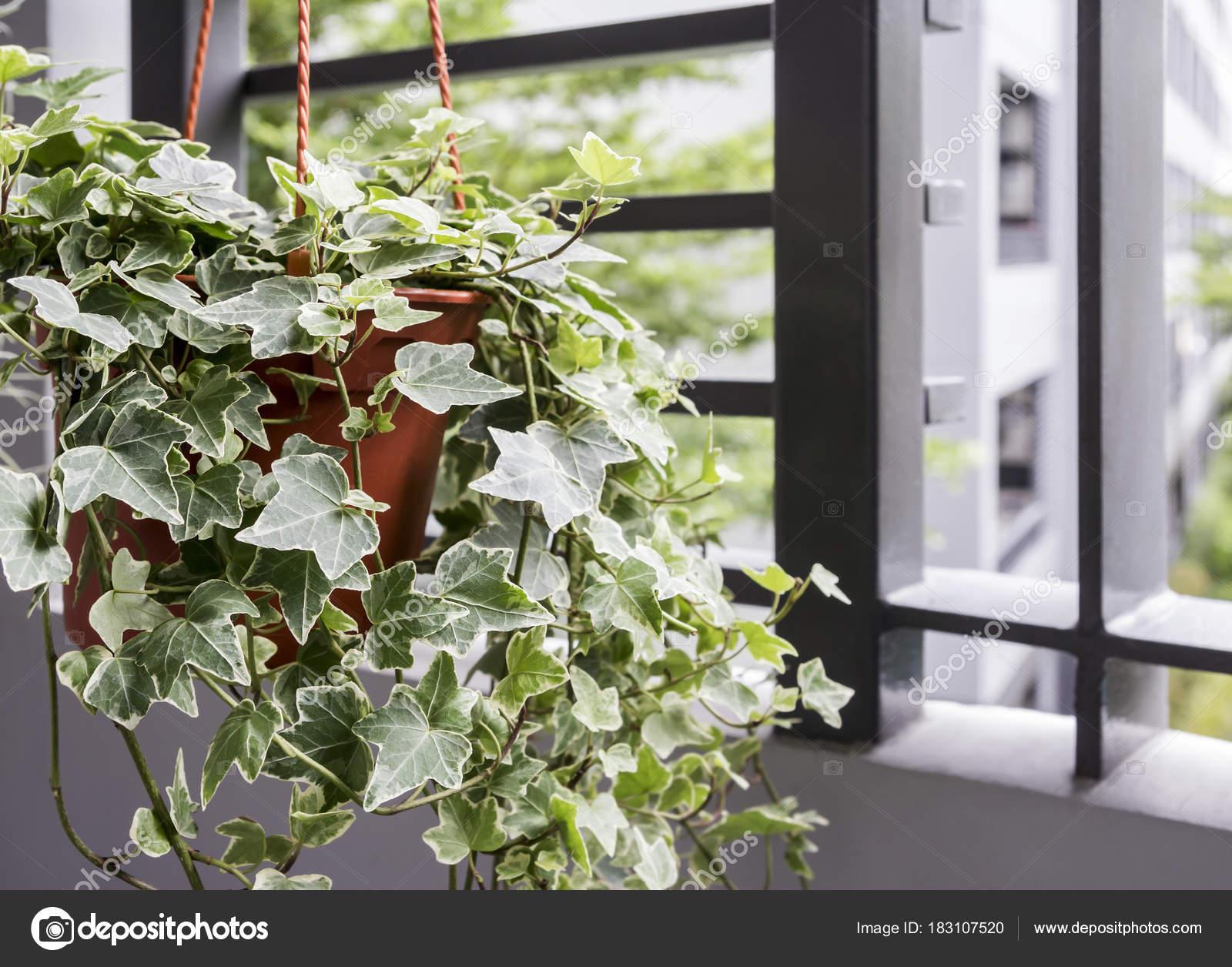 Boom In Pot Op Balkon.Huis En Tuin Concept Van Engels Klimop Plant In Pot Op De Balco