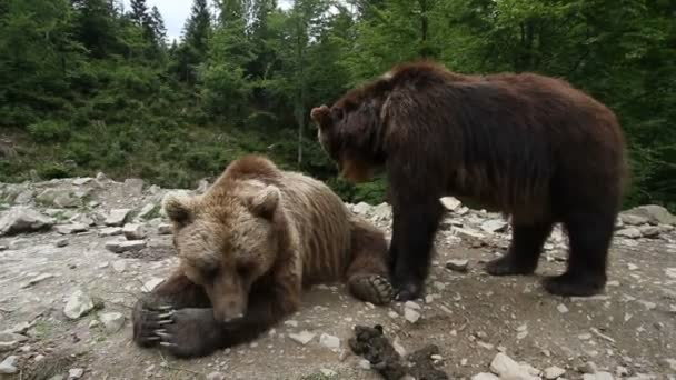Grizzly bears in forest