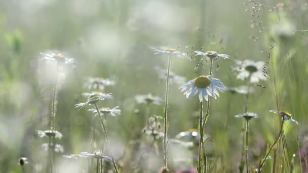 Field of camomile flowers  in morning sunlight