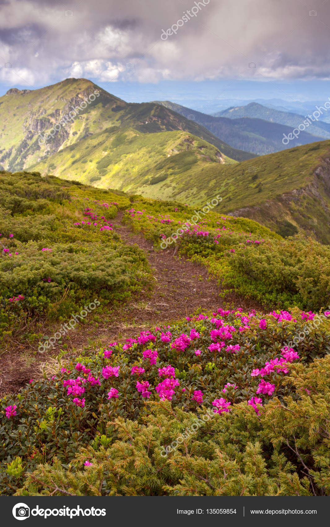 Amazing Colorful Spring View Of Mountains With Pink Rhododendron