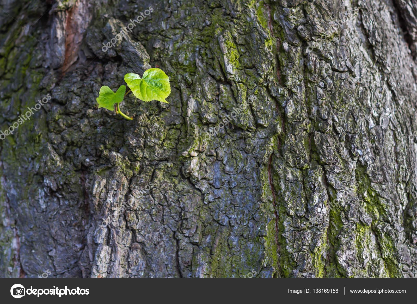 Hojas de color verde nuevo nacido en árbol viejo, con textura de ...