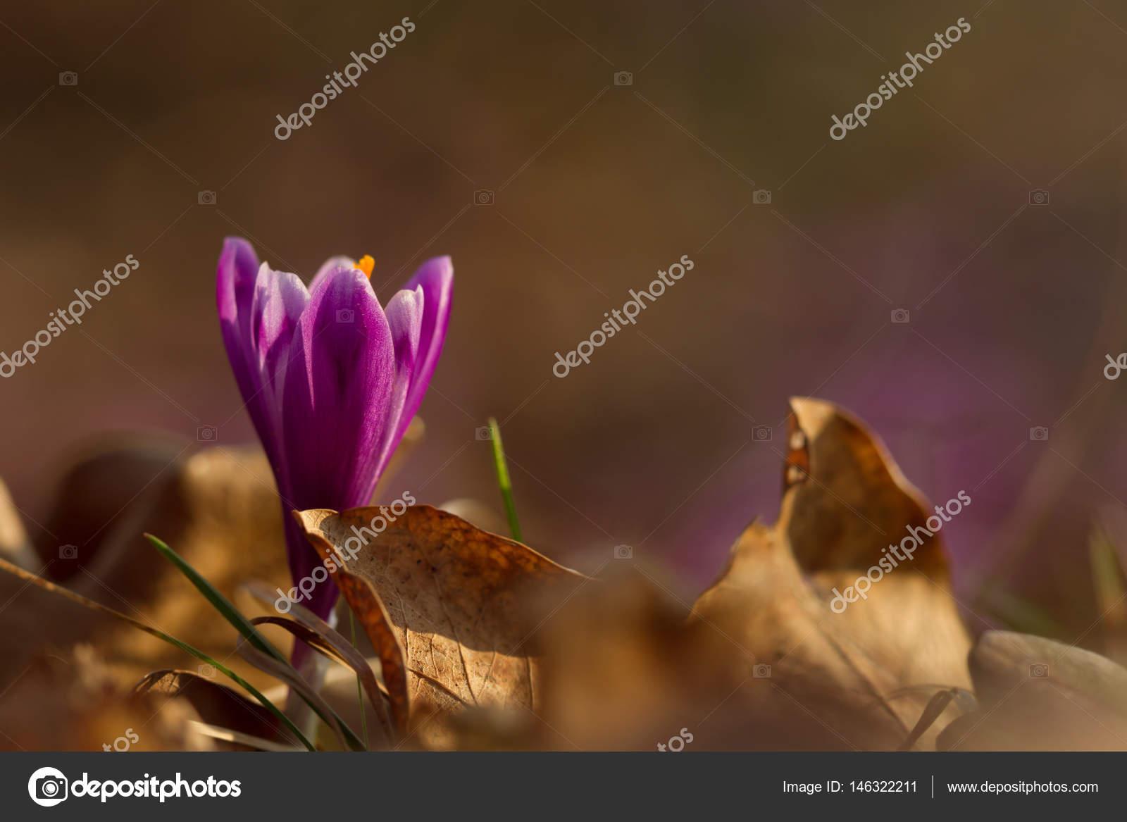 Beautiful Spring Flower Crocus Growing Wild Amazing Beauty Of Wild