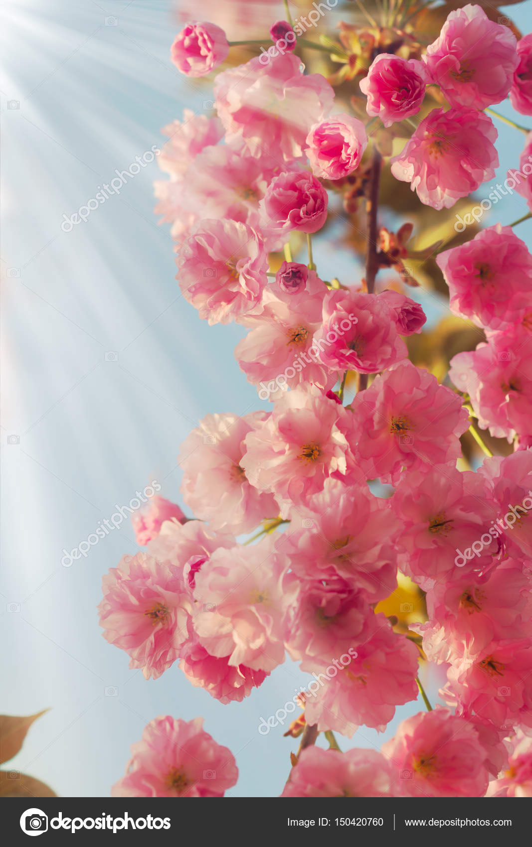 Beautiful Cherry Tree Blossoms In Full Bloom At Spring Amazing Pink