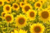Csodálatos szépségét, ragyogó napfény, a virág a napraforgó mező
