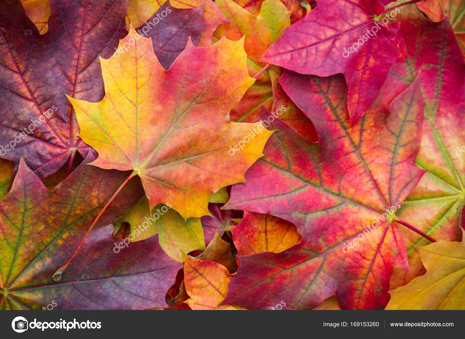 Amazing Multicolor Background Of Natural Autumn Foliage Colorful Leaves With Light Majestic Bright Color