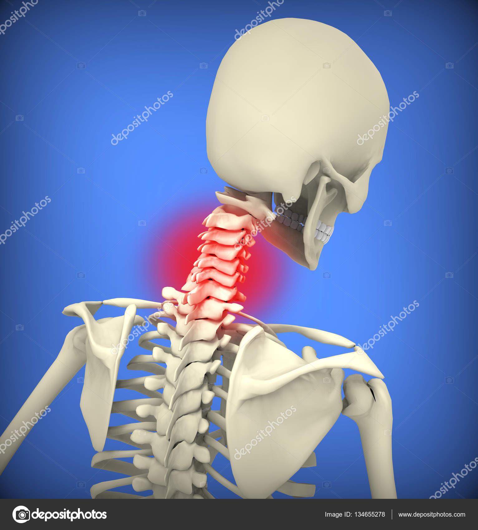 esqueleto humano con espina dorsal superior destacada — Fotos de ...